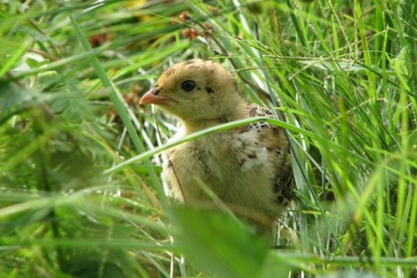 prairie chicken chick