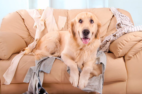Golden retriever on sofa