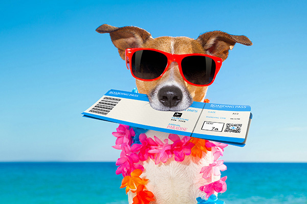 jack russell dog relaxing in summer vacation holidays with check in boarding pass ticket and bag or luggage at the ocean beach