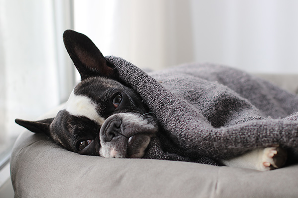dog in bed under blanket
