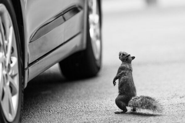 Squirrel standing by car