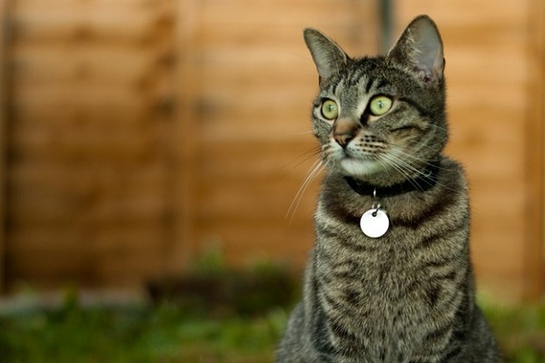tabby cat with collar