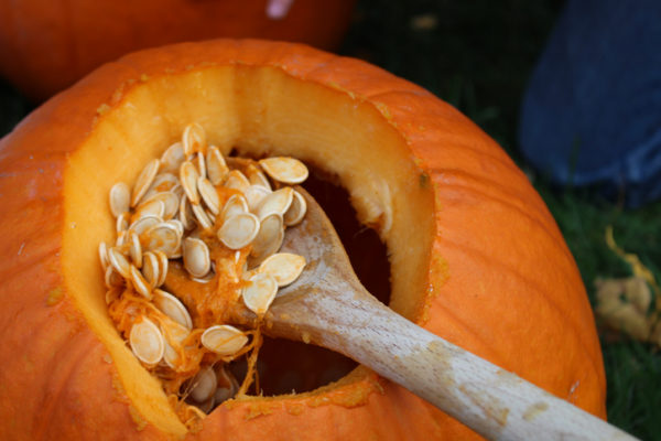 Pumpkin being hollowed out to make a Jack o' lantern.