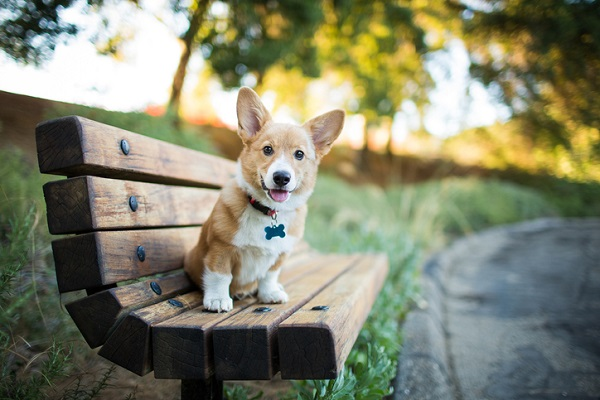 Pembroke Welsh corgi puppy sitting on bench