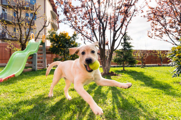 Horizontal wide image of a 4 months playfull labrador retriever puppy running in backyard with a tennis ball in its mouth in a beautiful sunny morning