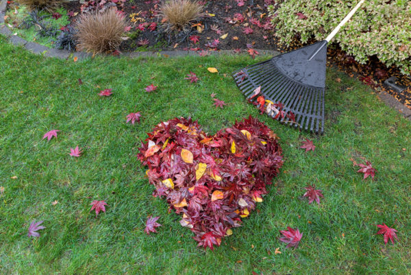 Fallen red maple tree leaves raked into heart shape on green grass lawn with rake broom in autumn fall season