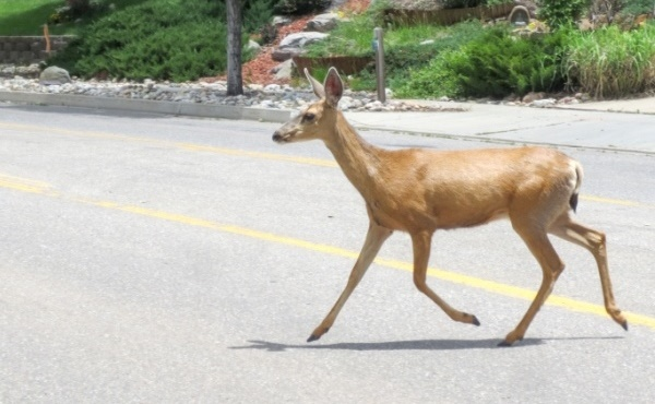 female deer crossing road