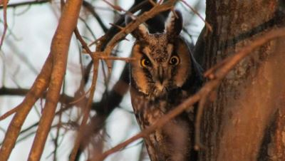 Great Swamp NWR Owl