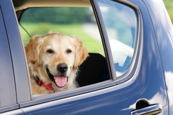 golden retriever in back seat of car