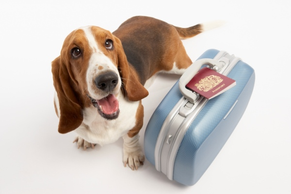 Basset hound with suitcase