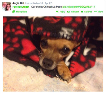 Angie Gill's Paco the chihuahua #geicocutepet contest winner