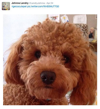 Johnna Lendry's brown Toy poodle #geicocutepet contest