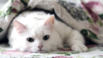 white cat under blanket