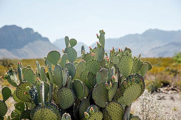 Cactus en el desierto de Texas